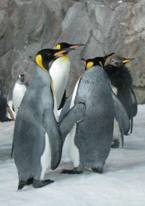 Pais são como os pingüins! (AjAraujo)